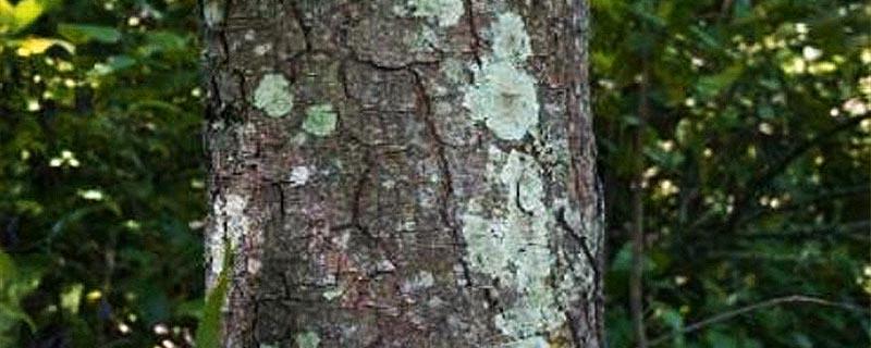 African Cherry (Prunus Africana)
