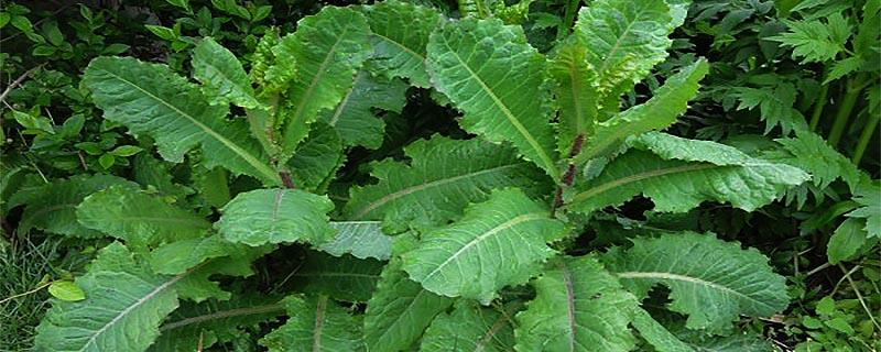 Wild Lettuce benefits